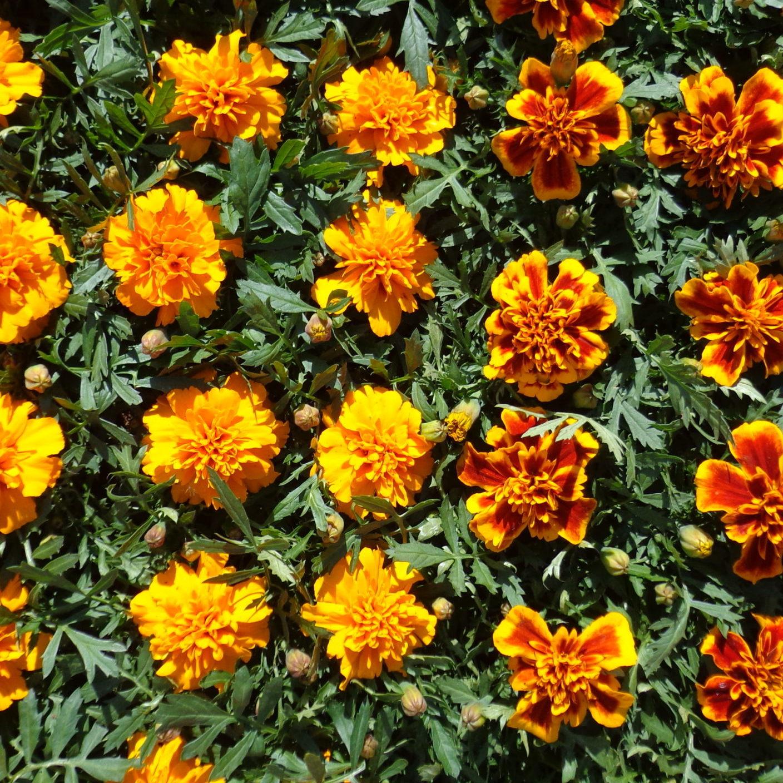 Rozsady kwiaty