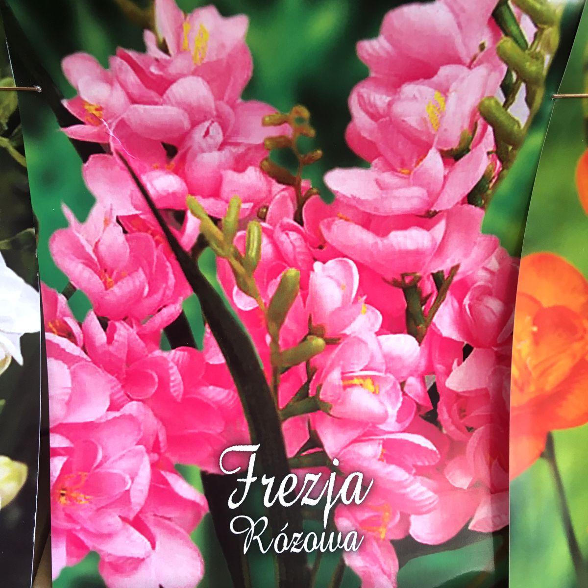 Frezja różowa cebulki