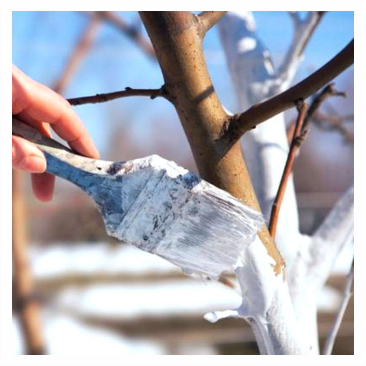 Bielenie drzew i krzewów wapnem